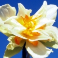 AnotherDaffodilAgainstClearBlueSky