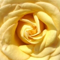YellowRoseCloseUpCroppedFace